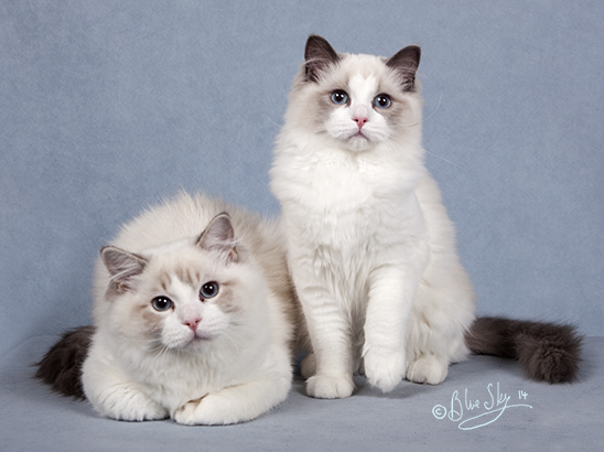 LaCat Dolls Cattery Ragdoll Cats n Kittens Ontario Canada